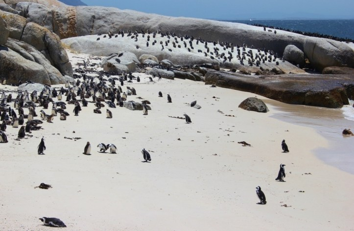 African penguin colony at Foxy Beach, South Africa