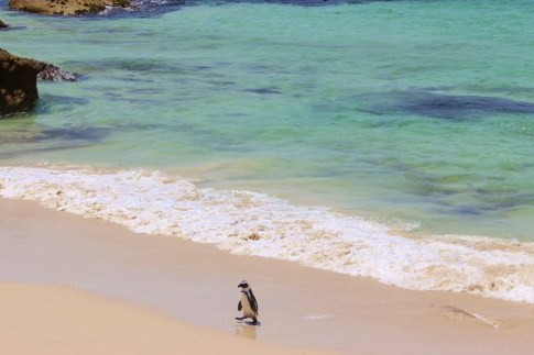Penguin on the beach in Simon's Town near Cape Town, South Africa