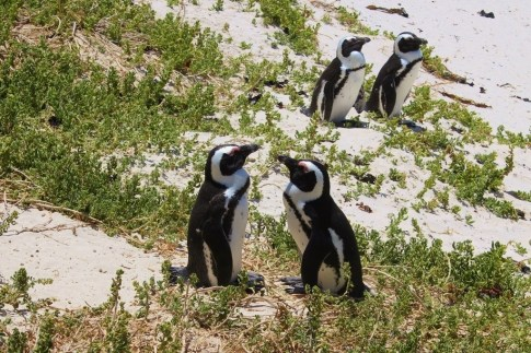 Pairs of penguins at Boulders Beach in Simon's Town near Cape Town, South Africa
