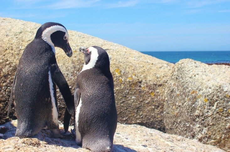 Love bird penguins at Boulders Beach in Simon's Town near Cape Town, South Africa