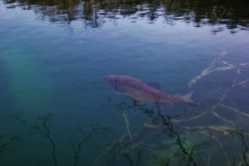 Plitvice Lakes: large trout could be seen through the crystal clear water