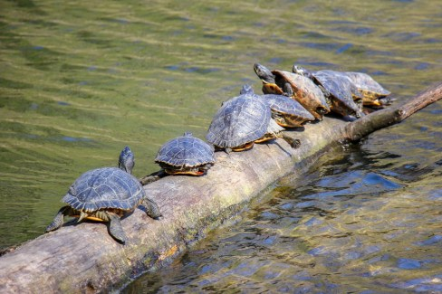 Turtles balance on log in sunshine in Maksimir Park in Zagreb, Croatia