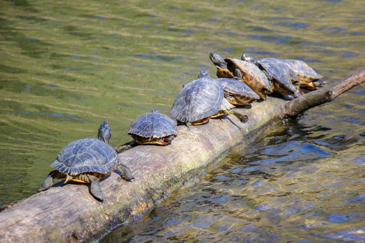 Turtles balance on log in sunshine in Maksimir Park in Zagreb, Croatia
