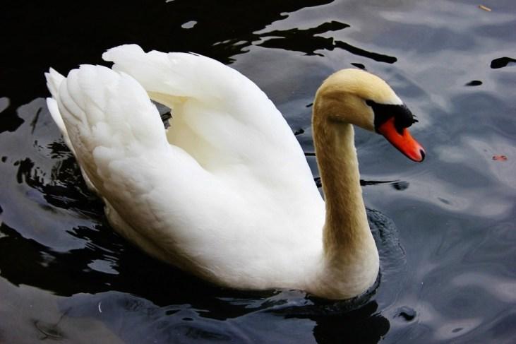 Swan on Lake Zurich, Zurich, Switzerland JetSettingFools.com