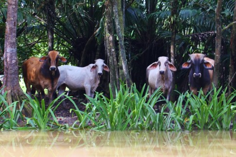 Riverside Brahman Cows in Costa Rica
