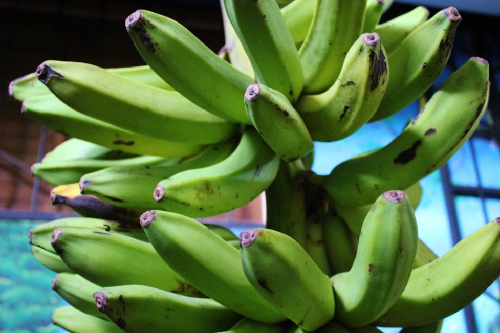 Plantains grow in Costa Rica