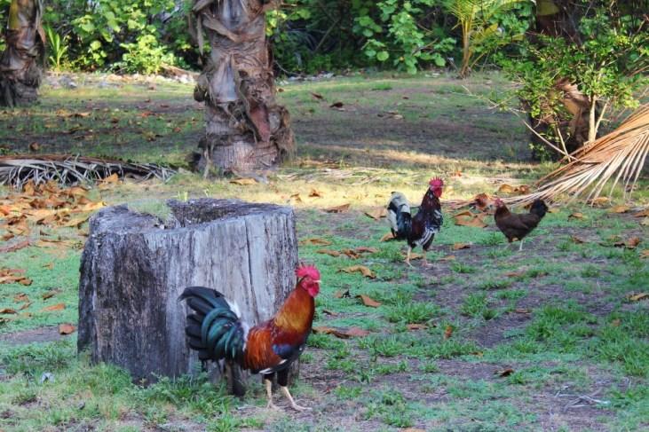 Chickens in the yard in Costa Rica