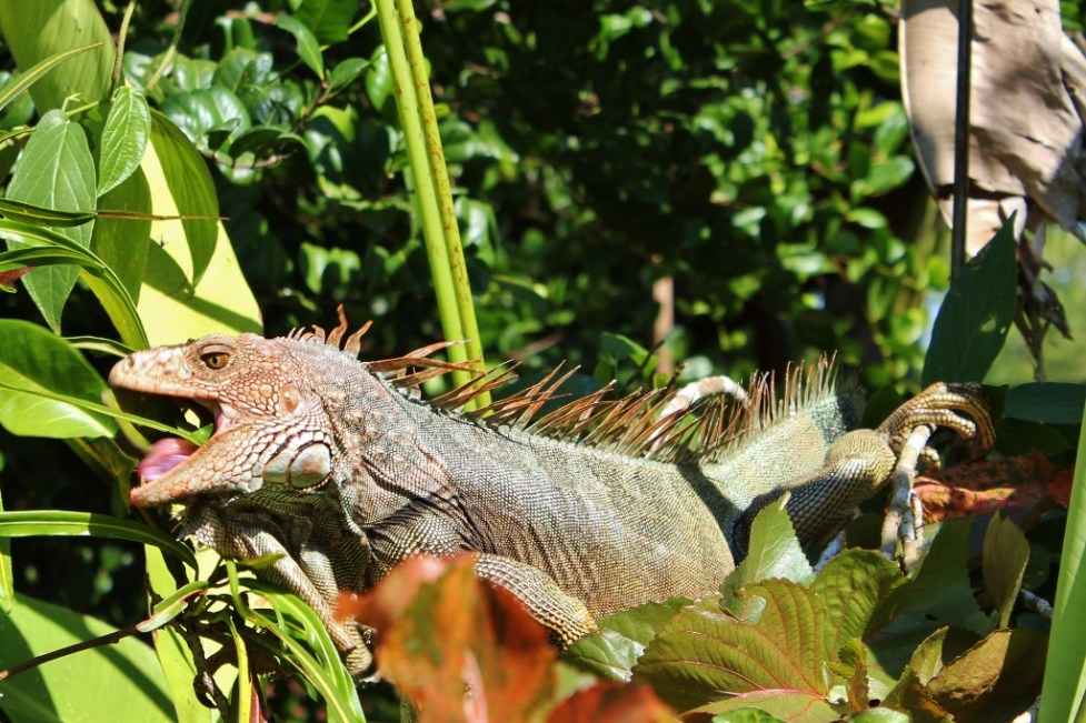 Green Iguana in Costa Rica