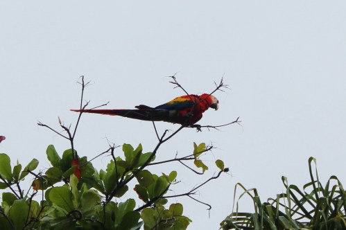 Scarlet Macaw in Costa Rica Red Parrot