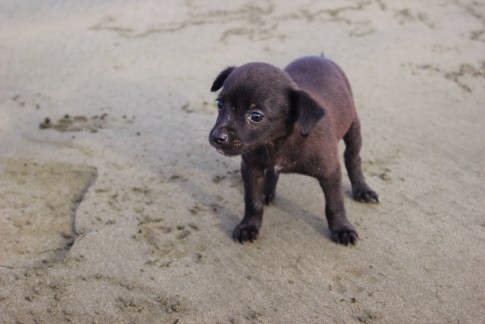 Black puppy on the beach in Costa Rica