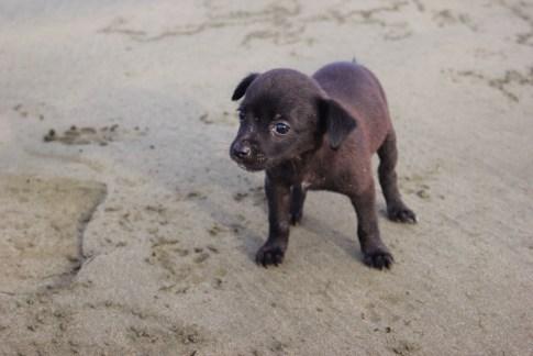 Black puppy on the beach in Costa Rica