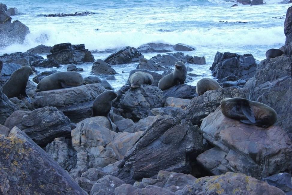 Seals on the rocks, Wellington, New Zealand