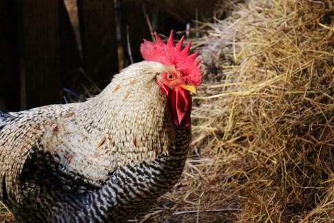 Chicken at Orlo Put Eco Farm in Osijek, Croatia