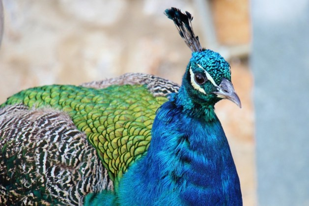 Peacock on grounds at St. Naum Monastery, Lake Ohrid, Macedonia