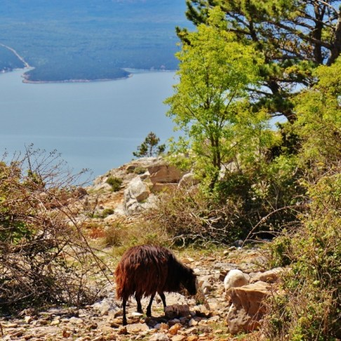 Goats grazing near the trail while hiking Vidova Gora on Brac, Croatia