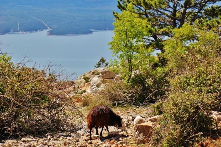 Goats grazing near the trail while hiking Vidova Gora on Brac, Croatia