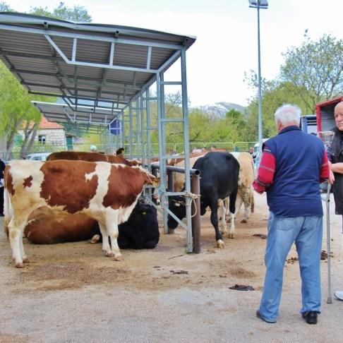 Cattle for sale at Zadvarje village Tuesday Market, Makarska, Croatia