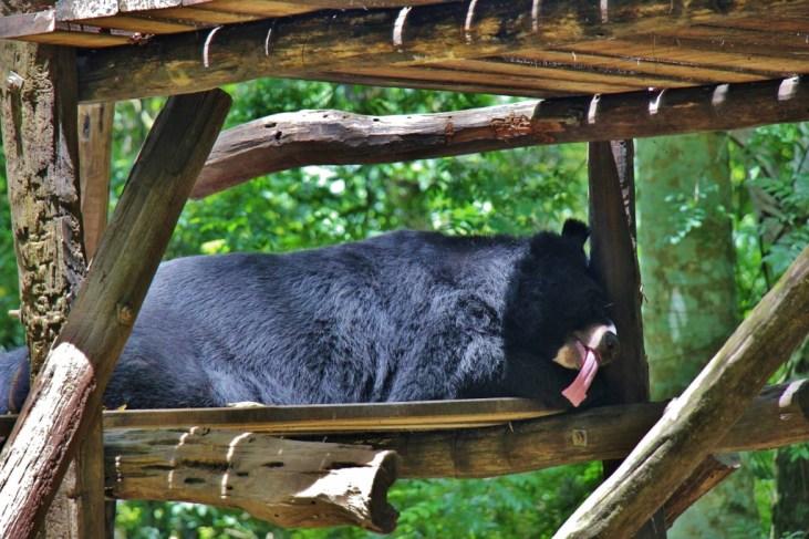 Asiatic Black Bear at Kuang Si Bear Rescue Center in Luang Prabang, Laos
