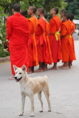 Dog stands near chanting monks at morning almsgiving ceremony in Luang Prabang, Laos