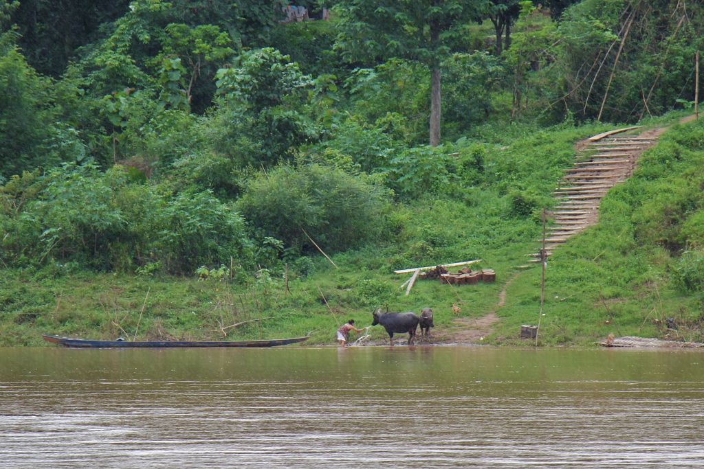 Women washed cattle in Mekong River, Laos