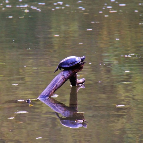Turtle on log in pond at Maksimir Park in Zagreb, Croatia