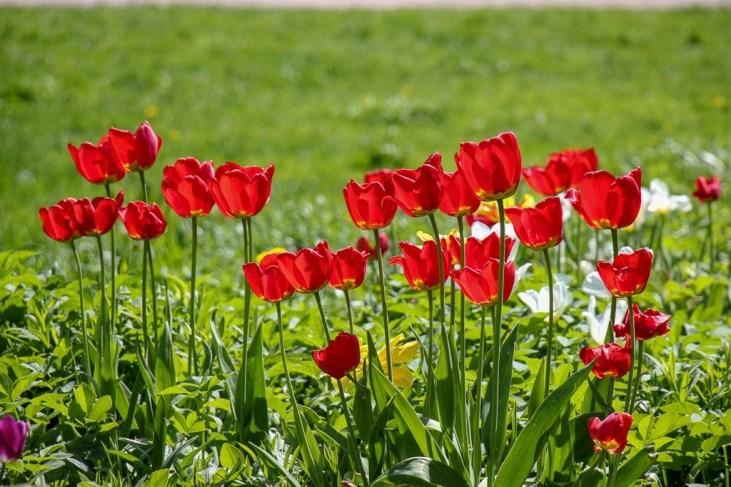 Red tulips in bloom at Tahtitorninvuoren Park in Helsinki, Finland