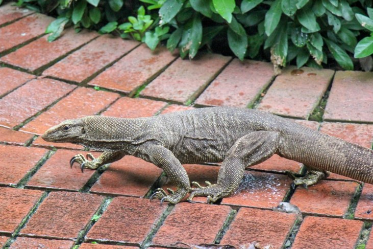 Creeping Clouded Monitor Lizard at Botanical Gardens in Singapore