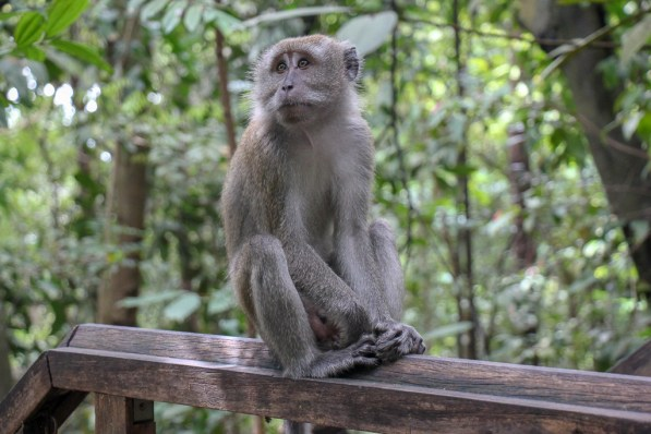 Monkey sits on a railing at Treetop Walk in MacRitchie Reservoir Park in Singapore