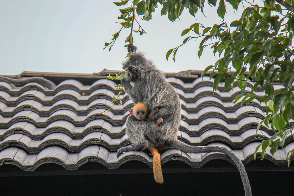 Baby monkey clings to mama in Kuala Lumpur, Malaysia