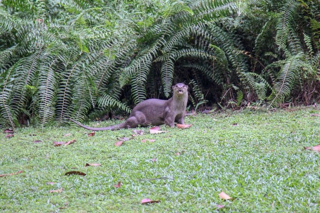 Smooth-coated otter at the Botanical Gardens in Singapore