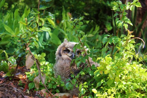 Baby Owl at Kirstenbosch Botanical Garden in Cape Town, South Africa
