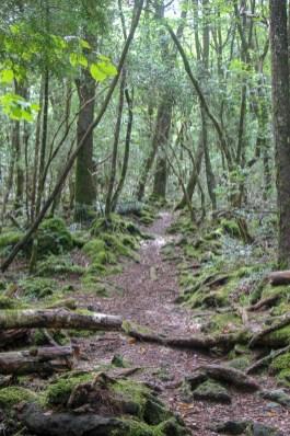 Trail through Aokigahara Forest in Kawaguchiko, Japan