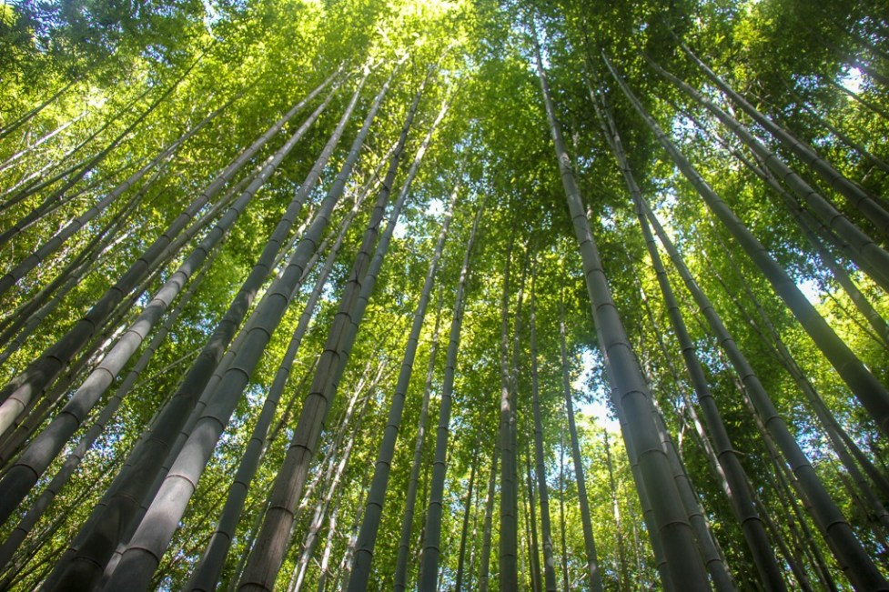 Bamboo grove in Arashiyama in Kyoto, Japan