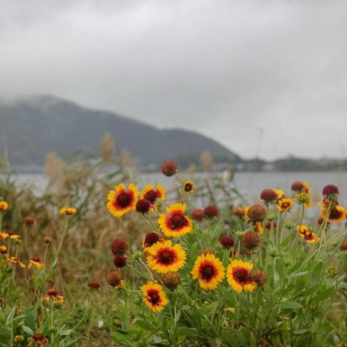 Colorful flowers on gloomy day at Kawaguchiko, Japan