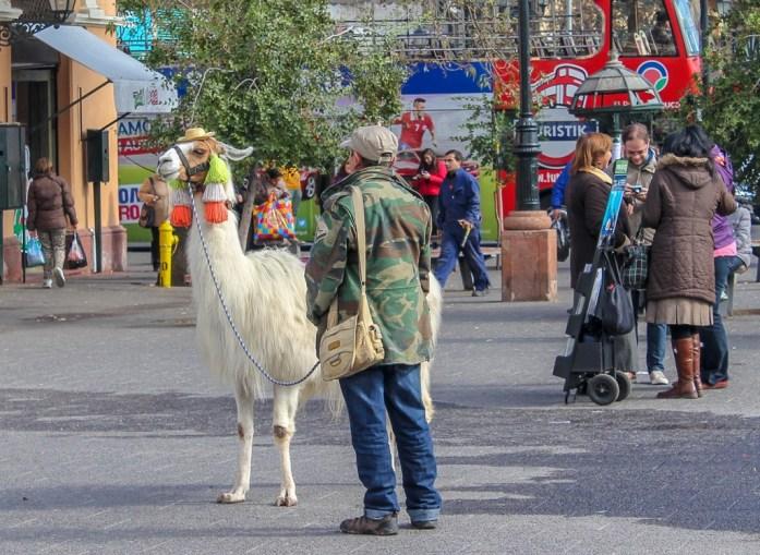 Llama in street in Santiago, Chile