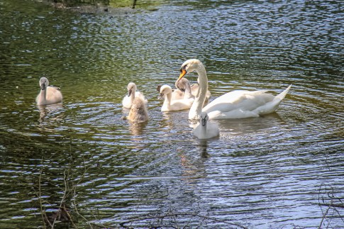 Baby swans swim with mother in Bundek Lake Park in Zagreb, Croatia
