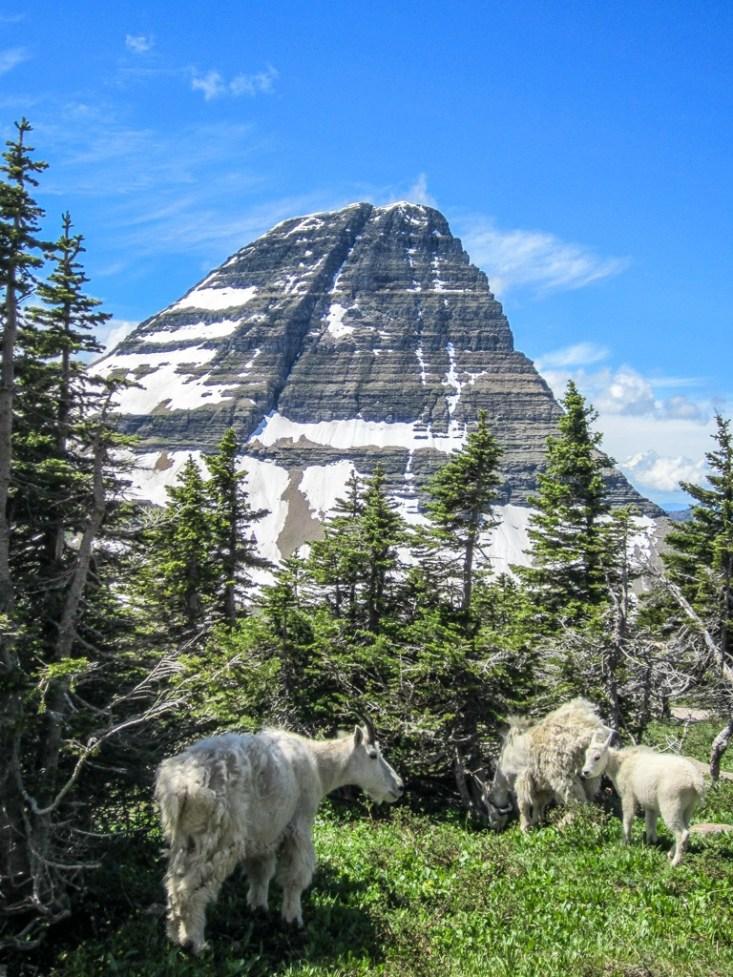 White Mountain Goats at Hidden Lake, Glacier National Park, Montana