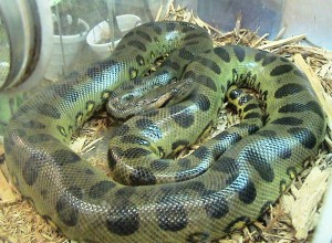 Eunectes_murinus Anaconda