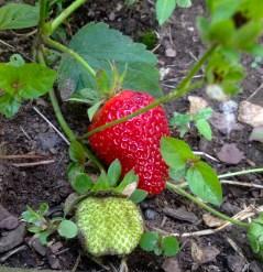 I got two strawberries