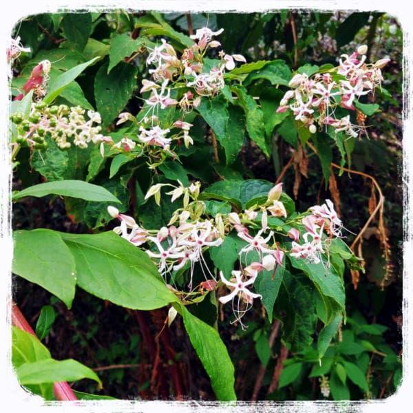 クサキの花