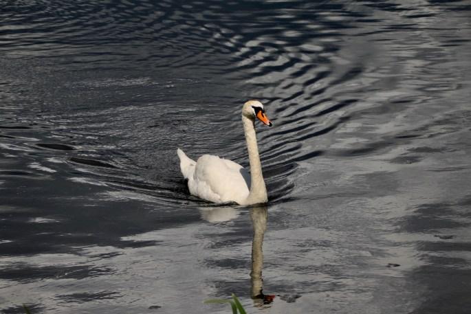 Swan at Broadwood Loch, Cumbernauld, by Jez Braithwaite