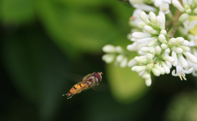 Hover fly in flight by Jez Braithwaite
