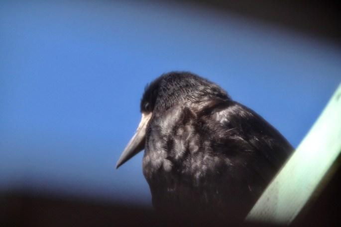 Crow by Jez Braithwaite