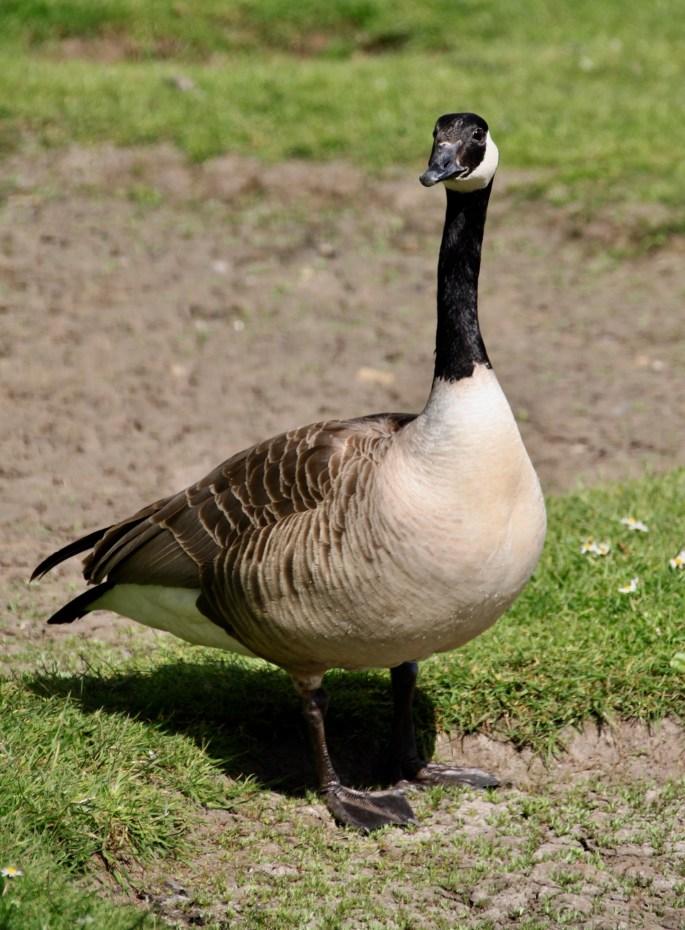 Canadian Goose at Broadwood Loch by Jez Braithwaite