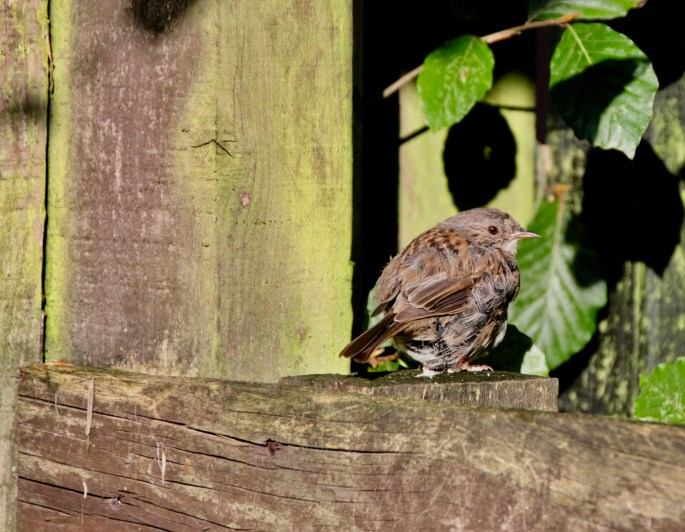 Sunbathing Sparrow by Jez Braithwaite