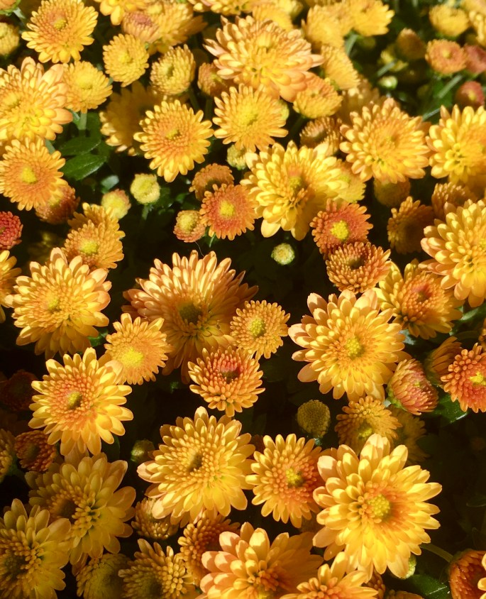 Yellow/Orange Mums by Jez Braithwaite