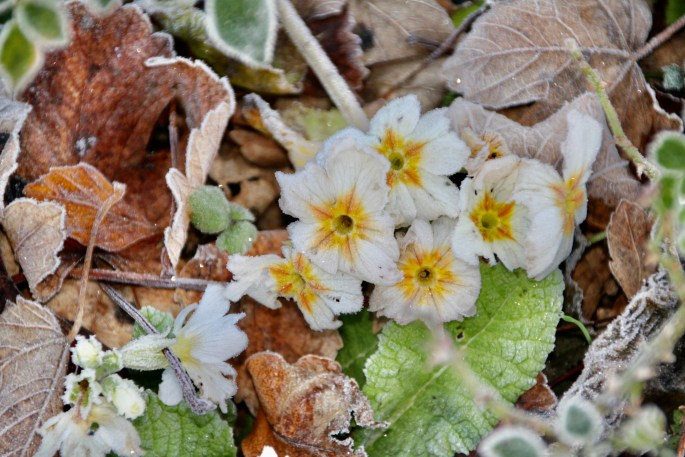 Frosty White Primrose by Jez Braithwaite