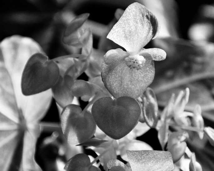 Begonia in Monochrome by Jez Braithwaite