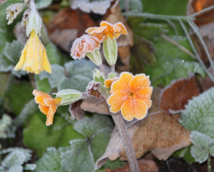 Frosty orange primrose by Jez Braithwaite