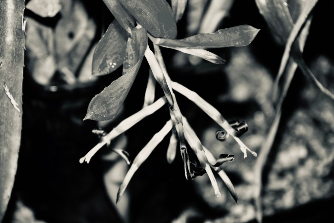 Billbergia in silvertone by Jez Braithwaite
